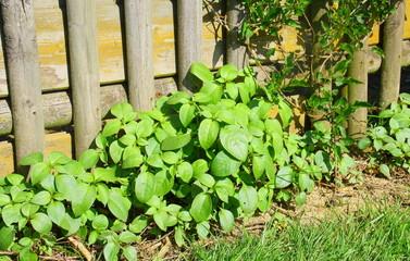 aménagement de plantes devant clôture en bois