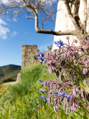 Borage Borago officinalis starflower near Castle wall