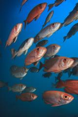 School Red Fish