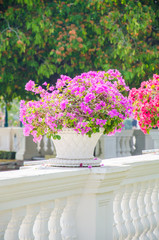 Bougainvillea flower in vase