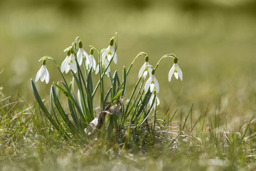 The first spring flowers - snowdrops enlightened sun