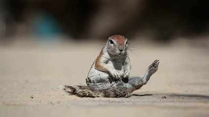 African ground squirrel grooming, Kalahari desert