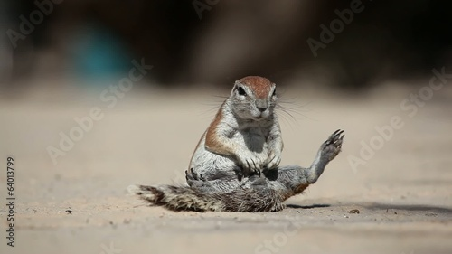 African ground squirrel grooming, Kalahari desert