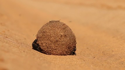 Dung beetles rolling their sand covered dung ball