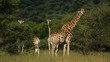Giraffes (Giraffa camelopardalis) feeding on Acacia trees