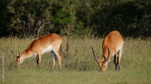 Two male red lechwe antelopes grazing in natural habitat