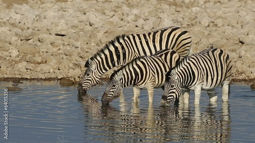Plains Zebras drinking water, Etosha National Park