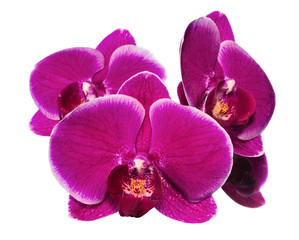 Blooming beautiful lilac orchid with bandlet is isolated on whit