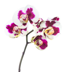 Blooming lilac spotty orchid, phalaenopsis is isolated on white