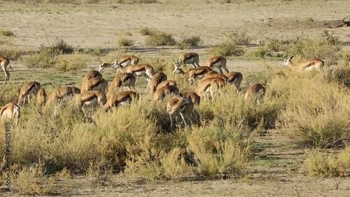 Herd of springbok antelopes feeding, Kalahari desert