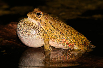 Olive toad calling