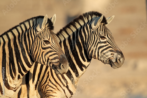 Plains Zebras portrait, Etosha National Park