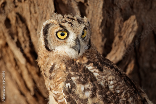 Spotted eagle-owl portrait, Kalahari