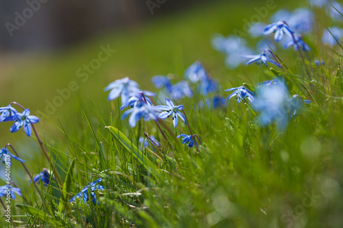 flowering scilla macro