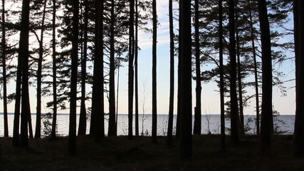 The view of the pine trees during late afternoon