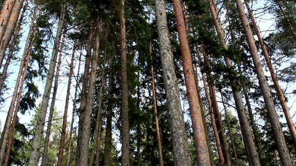 Set of green pine trees on the forest