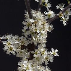 Schwarzdorn; Schlehen; Prunus; spinosa;