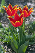 canvas print picture - Wildtulpe; Tulipa schrenkie,