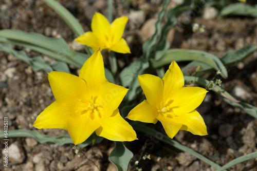 canvas print picture Tulipa, kolpakowskiana,