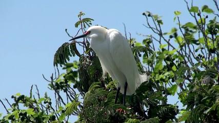 Snowy Egret (Egretta thula). Alcatraz habitat.