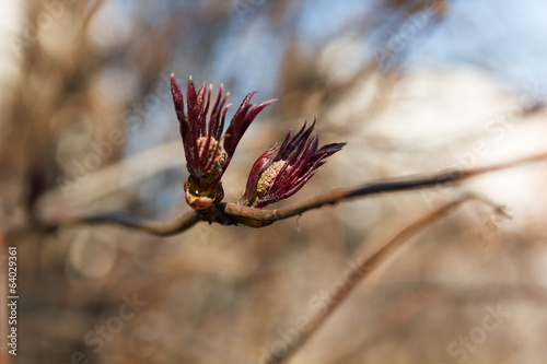 Blossoming bud in early spring red elderberry