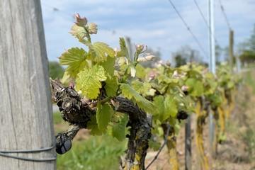 Pied de vigne