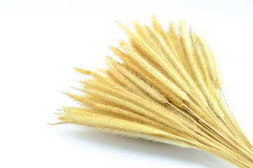Feather Grass or Needle Grass, Nassella tenuissima isolated on w
