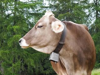 Walking to Hafling - Avelengo, grazing cows