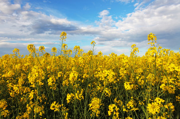Rape yellow field with sky