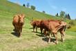 Cows in Emmental region, Switzerland