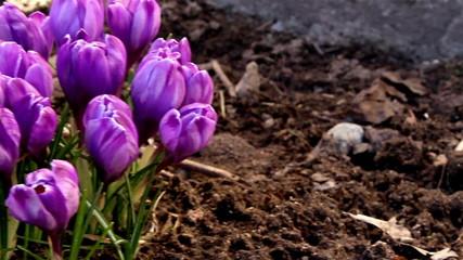 A purple crocus plant