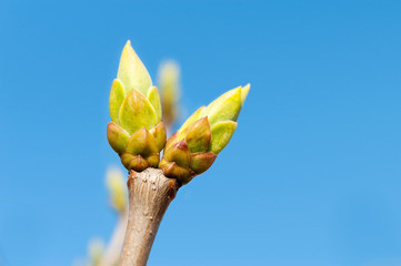 First new spring burgeon/bud on blue sky background. Outdoors cl