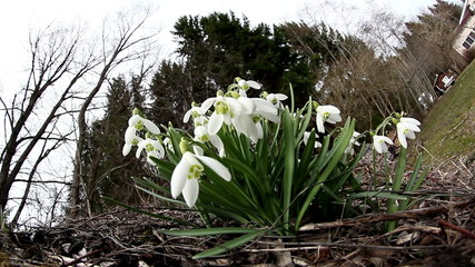 The white Galanthus plant on the backyard