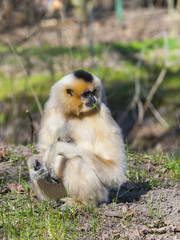 Yellow-cheeked gibbon (Nomascus gabriellae) female