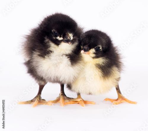 Foto op Aluminium Kip Baby Chick Newborn Farm Chickens Standing White Australorp Varie