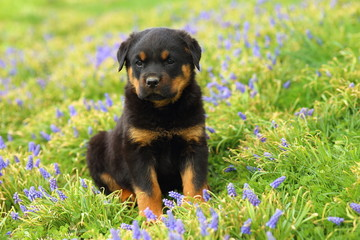 Rottweiler Puppy Sitting in Flowers