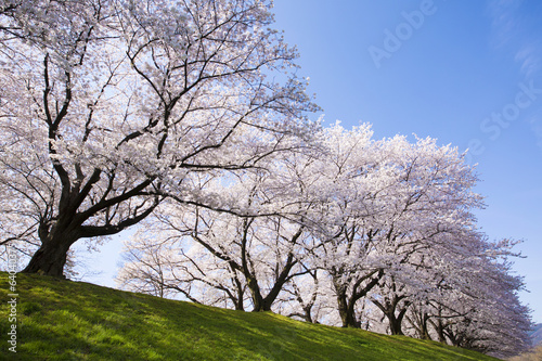 Fridge magnet 京都府八幡市の桜並木
