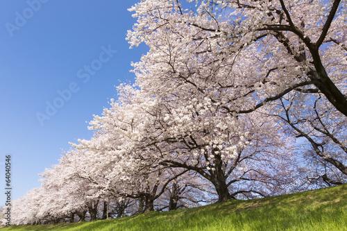 京都府八幡市の桜並木