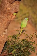Indian Rose-ringed Parakeet sitting on a tree, Pushkar, Rajastha