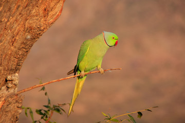 Indian Rose-ringed Parakeet sitting on a tree, Pushkar, Rajastha