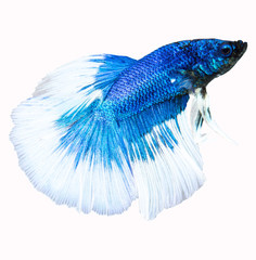 Siamese fighting fish isolated in white background. Betta Splend