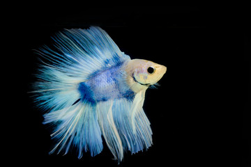 betta pet fish