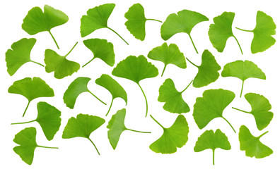 collection of ginkgo leaves isolated on white background
