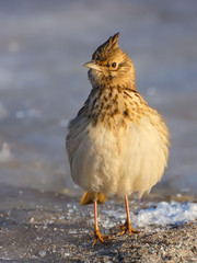 Crested Lark in Winter