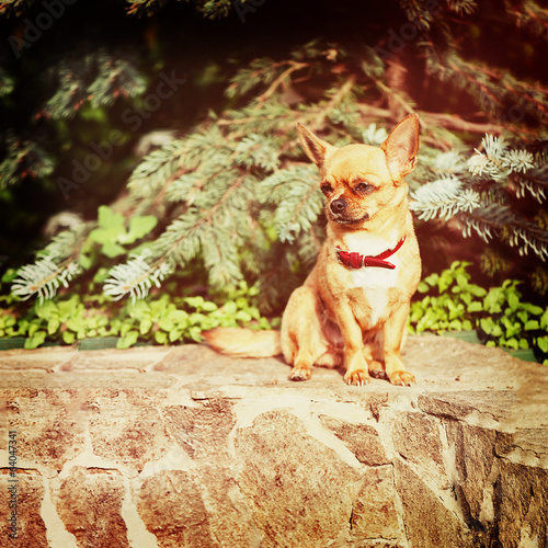 Red chihuahua dog siting on granite pedestal.