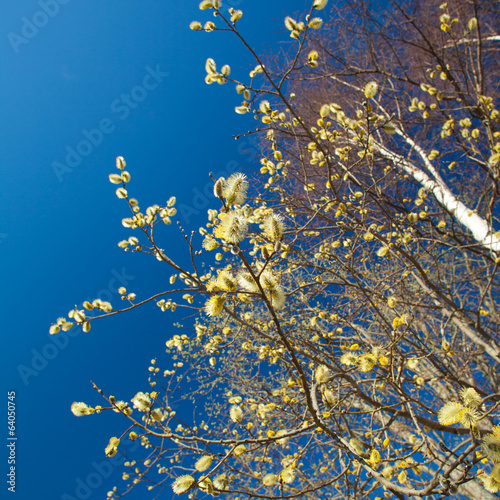 catkins and blue sky