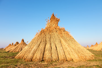 Stacks of freshly harvested reed