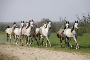 Herd of Arabian horses running in the field