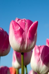 pink tulips and blue sky