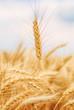 Leinwanddruck Bild - Ear of wheat